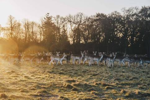 Deer in Phoenix Park at Dawn in Dublin Ireland,